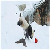 """旅芬大熊猫正式亮相 """"华豹""""和""""金宝宝""""适应良好"""